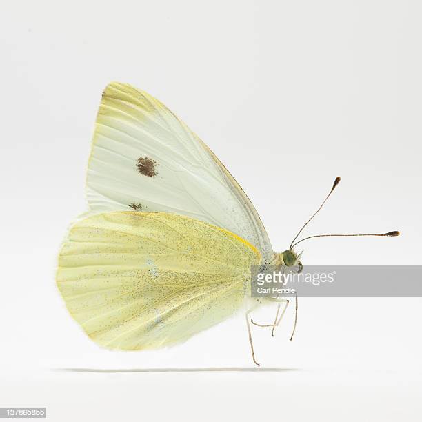 Large cabbage white butterfly (Pieris brassicae)