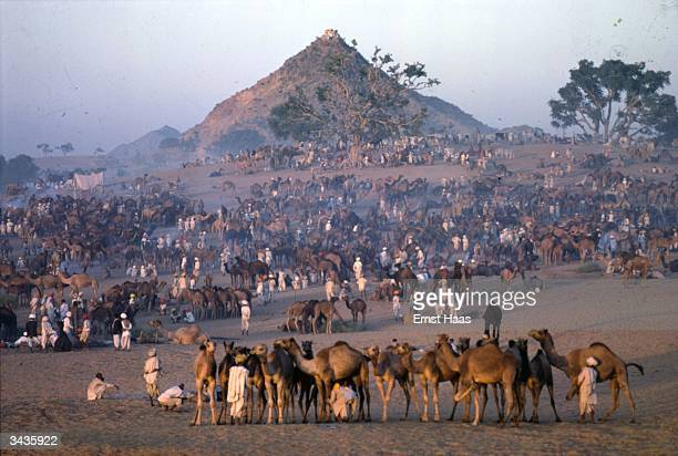 A large camel fair held in open country at Pushkar Rajasthan India An usual cone shaped mountain is in the distance