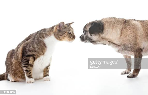 Large Cat and Pug Meet Nose-to-Nose