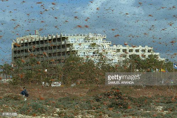 A large cloud of locusts is seen 29 November 2004 around Corralejo in the north of the island of Fuerteventura in Spain's Canary Islands about 100...