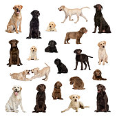Large collection of Labrador, adult and puppy, different position, Isolated on white background.