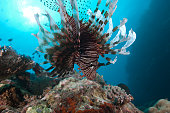 A large common lionfish (Pterois volitans) swimming at Beqa Lagoon, Fiji.