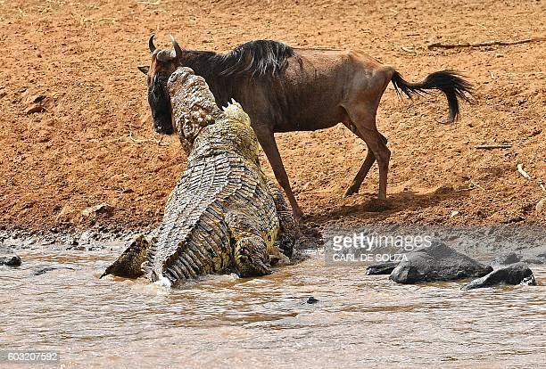 TOPSHOT A large crocodile attacks a wildebeest during the migration in the Masai Mara game reserve on September 12 2016 The daring wildebeest...