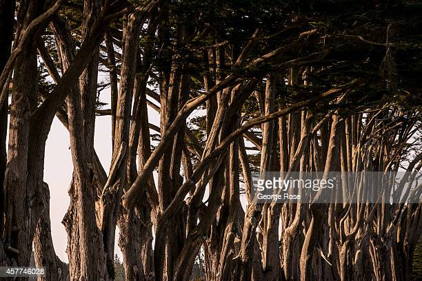 Large cypress trees are used to block the wind along the Mendocino Coast as viewed on September 4 near Gualala California Using his authority under...