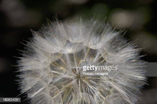 Large dandelion seeds