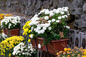 Large decorative flower bed of chrysanthemums in pots at the stone wall.