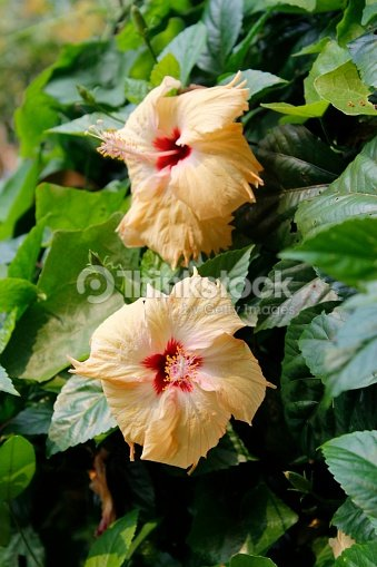 Large Distinctive Yellow Or Orangered Hibiscus Flower In Bloom In