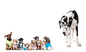 Large dog looking at small puppies against white background
