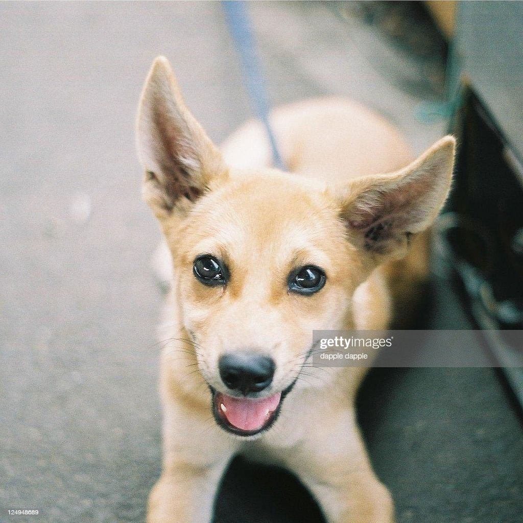 Large eared puppy