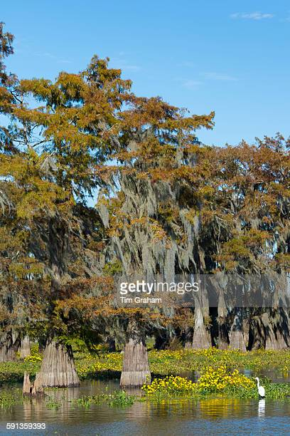 Large Egret wading by Bald cypress trees Taxodium distichum covered with Spanish Moss Atchafalaya Swamp Louisiana USA