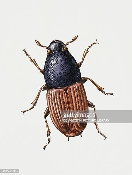 Large Elm Bark beetle Curculionidae Artwork by Sandra Pond