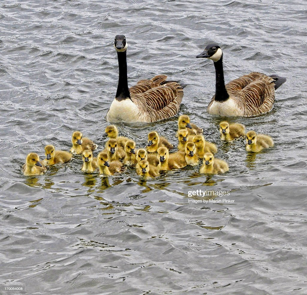 A large family of Canadian geese