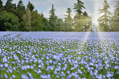 A large field of flax in the forest. Linum usitatissimum L. Backlight sunlight