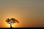 Large fig tree silhouetted at sunrise