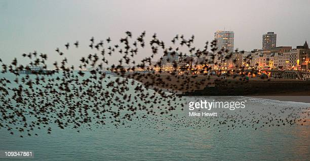 A large flock of starlings swoops off the coast of Brighton on February 22 2011 in Brighton England