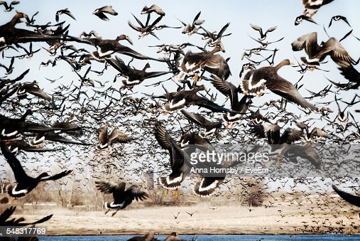 Large Flocks Of Geese Flying Over Water