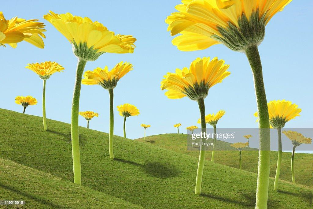 Large Flowers (Gerber Daisies) in Green Hills