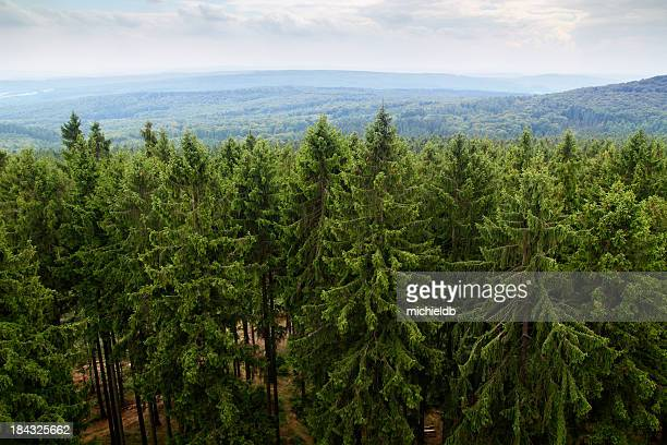 Large forest filled with green fir trees