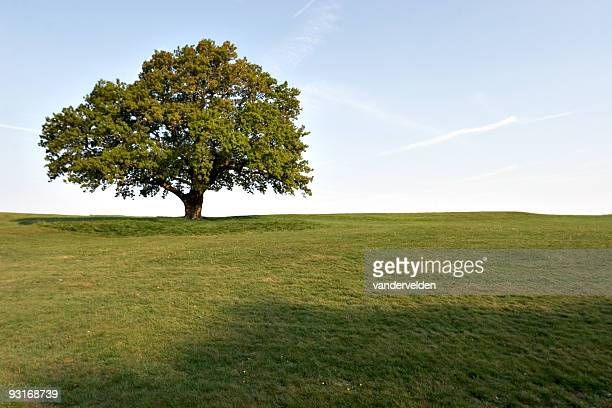 A large full oak tree isolated in green field in the spring