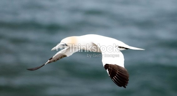 Large gannet bird in flight flying beautiful bempton cliffs