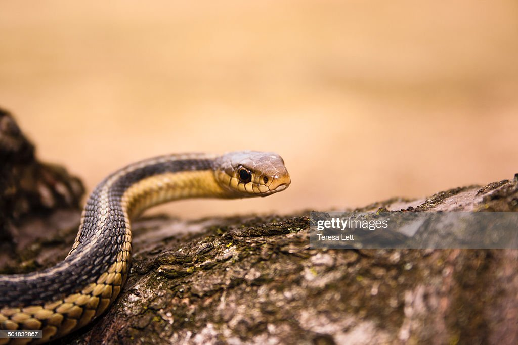 Large Garter snake