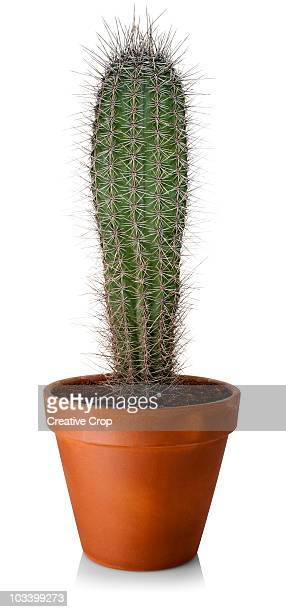 Large green cactus in clay pot