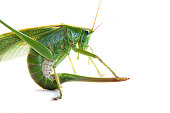 Large green grasshopper or locust with sting or tail isolayrd on white