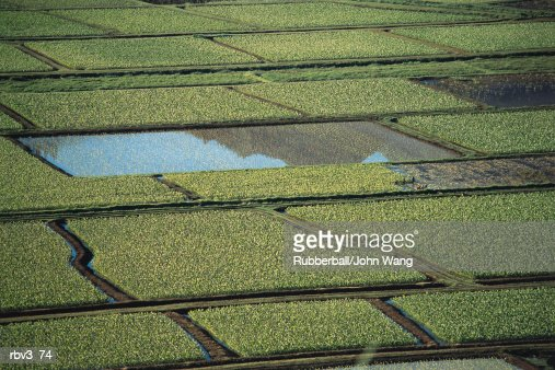 large green rice fields are laid out in large squares