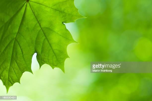 Large Green Spring Maple Leaf
