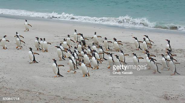 A Large Group Gentoo Penguins On the Beach