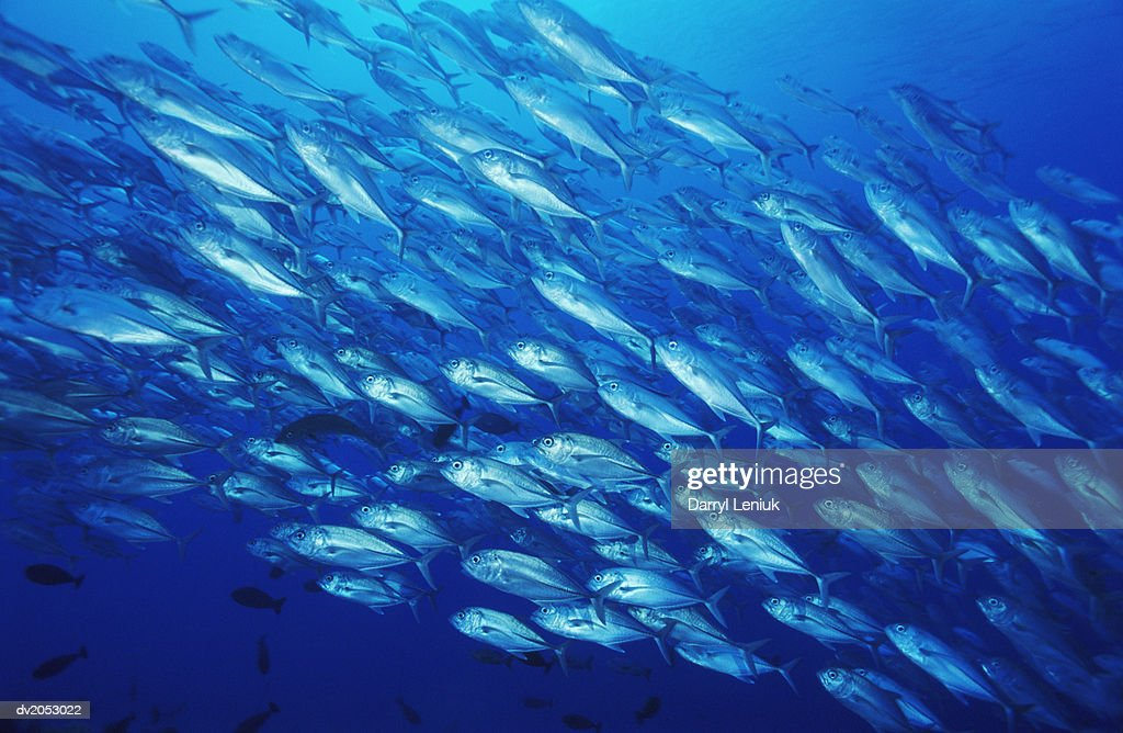Large Group of Bluefin Trevally : Stock Photo