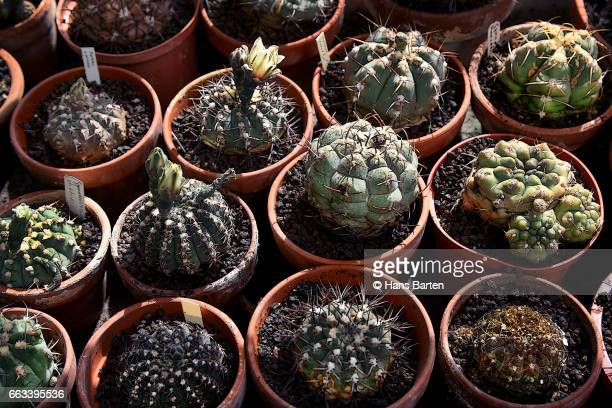 Large group of cactussen