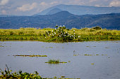 A large group of cattle egret sitting on a bush in lake Albert with the mountains of Kongo in the background. To bad this place is endangered by oil drilling companies