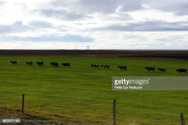 Large group of cow near Borgarnes, West Iceland