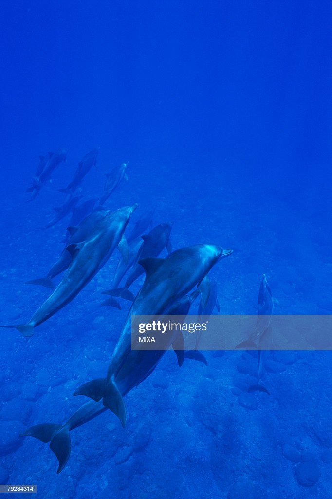 Large group of dolphins swimming underwater : Stock Photo