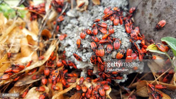 large group of firebugs gathered in the sun on dried linden leaves