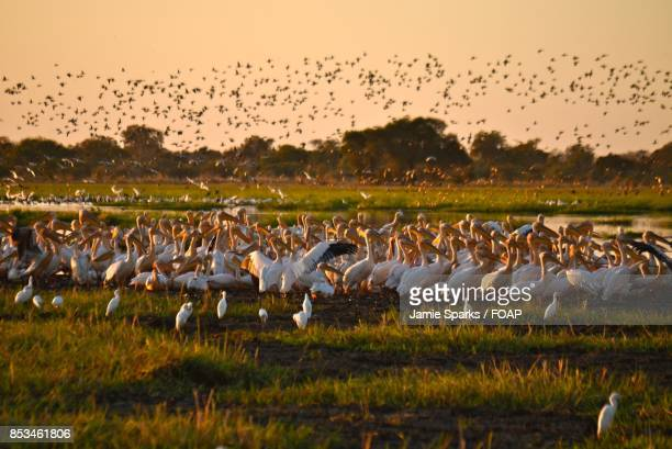 Large group of flock of bird