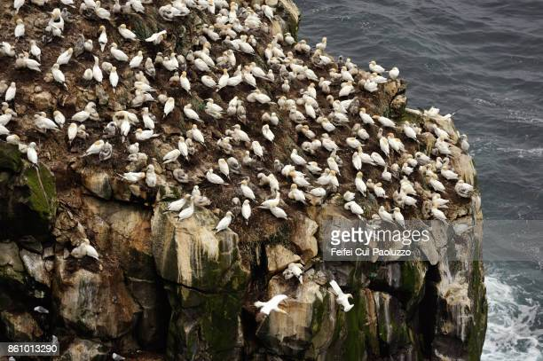Large group of Gannet on a rock at Langanes, North east of Iceland