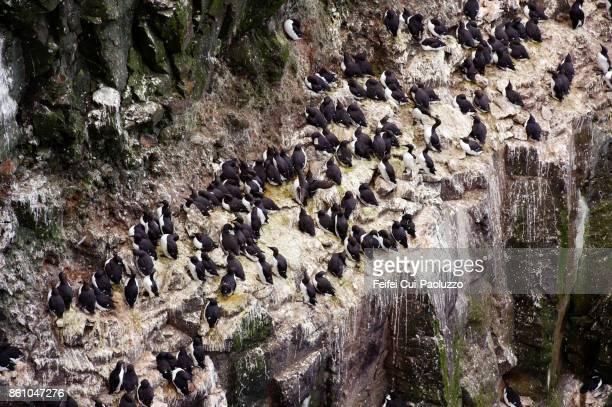 Large group of Razorbill on the bird cliff of Látrabjarg, Westfjords, Iceland
