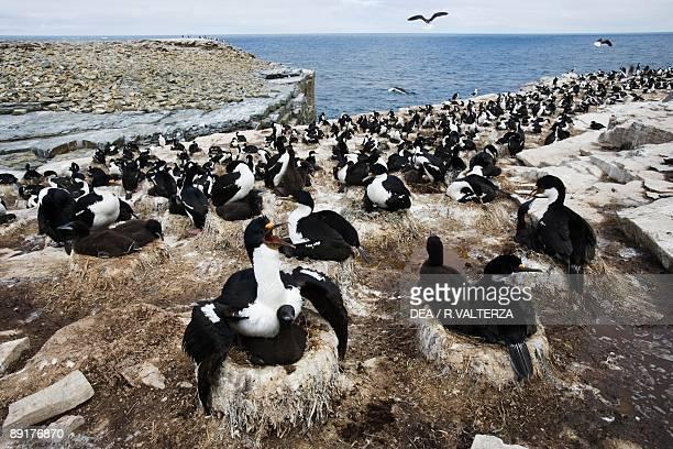 Large group of sea birds Rockhopper Point Sea Lion Island Falkland Islands