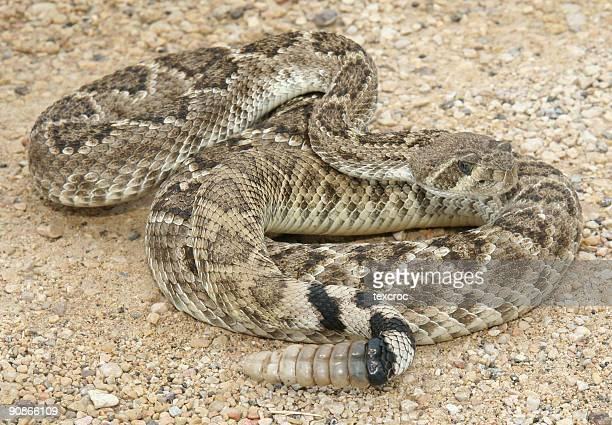 Large grownup rattlesnake on a sand surface