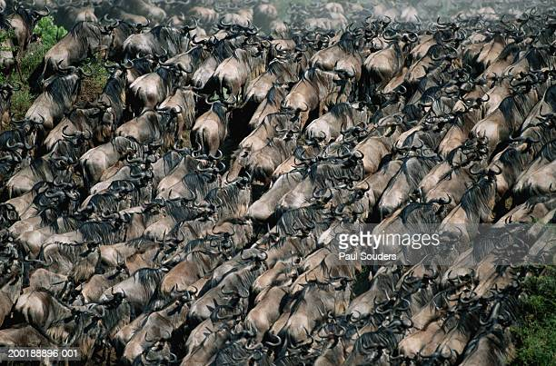 Large herd of Blue wildebeest (Connochaetes taurinus), elevated view