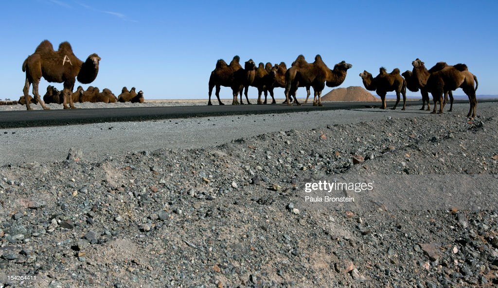 Large herds of camels in the desert move along the newly paved 110k of road built as part of Oyu Tolgoi's infrastructure investment, towards the Chinese border October 12, 2012 in the south Gobi desert, Khanbogd region, Mongolia. The Oyu Tolgoi (Mongolian for Turquoise Hill) copper and gold mine is a combined open pit and underground mining project. The site, discovered in 2001, is located approximately 550 km south of the Mongolian capital, Ulan-Batar in the South Gobi Desert. Turquoise Hill Resources (Formerly Ivanhoe Mines) and Rio Tinto signed a long-term comprehensive investment agreement with the Government of Mongolia in 2009 with the deal awarding Turquoise Hill Resources, whose majority shareholder is Rio Tinto, with a controlling 66 percent interest and The Mongolian Government with a 34 percent interest in the project. Rio Tinto provided a comprehensive financing package and assumed direct management of the project under an agreement with Ivanhoe Mines. Initial production from open pit mining is currently underway and commercial production is planned to start in first half of 2013. An 85million USD investment was earmarked for education and training projects, with Mongolians expected to constitute 90 percent of the work force when production begins in 2013. When Oyu Tolgoi starts fully operating Mongolia will be set to become one of the world's top copper and gold producers with production estimates of 450,000 tons of copper and 330,000 ounces of gold annually. Mongolia is currently the world's fastest growing economy with its GDP increasing by more than 17 percent last year and an estimated $1.3 trillion in untapped mineral resources. Oyu Tolgoi is Mongolia's largest foreign investment project and the country's biggest economic undertaking to date, which is projected to add one-third of future value to the country's GDP by 2020.