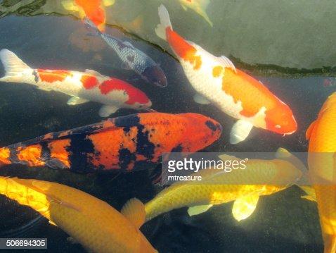 Large koi carp swimming highgrade pond fish kohaku ogons for Carpe koi grade a
