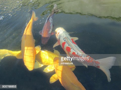 Large koi carp swimming in pond highgrade fish ogons for Pool koi aquatics ltd