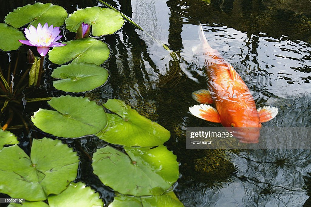Large koi fish in koi pond stock photo getty images for Large koi pond