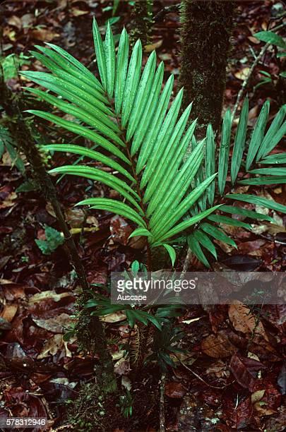 Large lawyer cane Calamus moti Mossman Gorge section Daintree National Park Queensland Australia