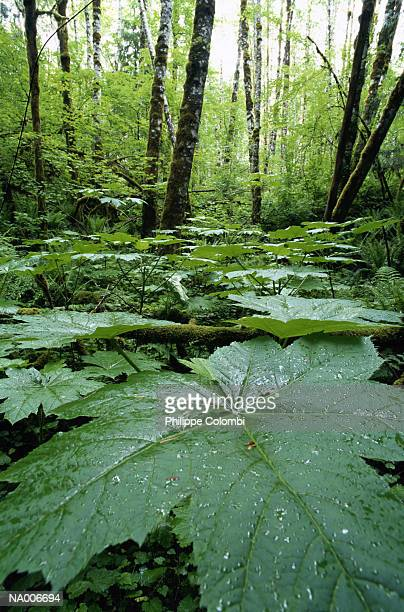 Large Leaves in a Forest
