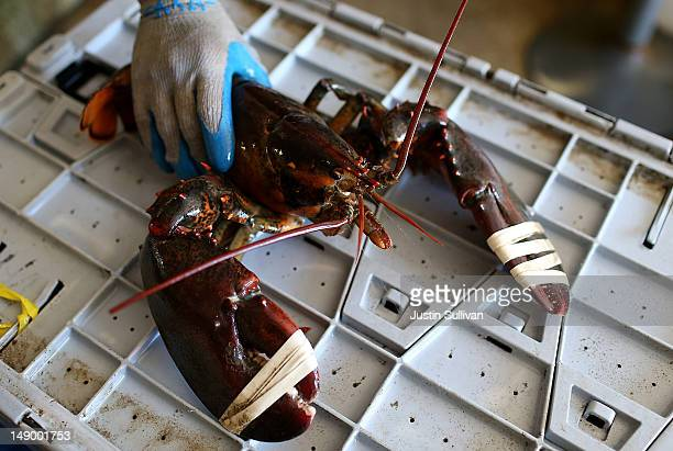 A large lobster is seen at Three Sons Lobster and Fish on July 21 2012 in Portland Maine A mild winter and warmer than usual spring caused lobsters...