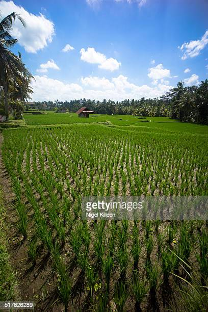 Large lush rice paddy